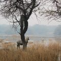 wetlands-peatlands-nilgai-india