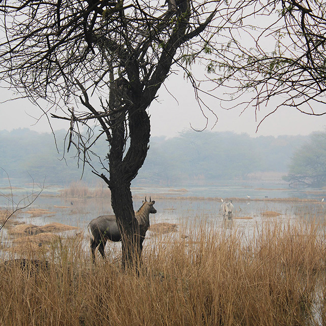 wetlands-peatlands-nilgai-india