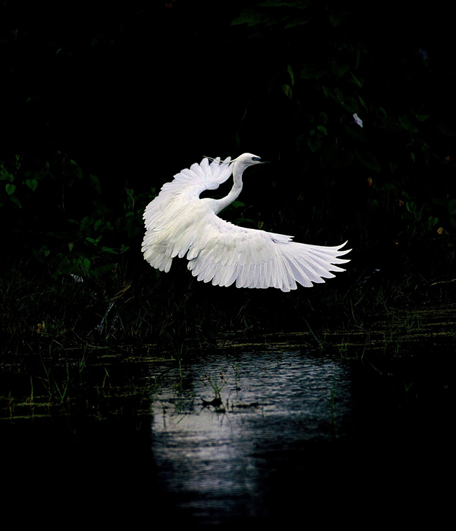 water birds, india, egret, photography, natural, design