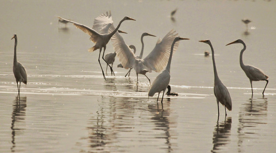 egrets, birds, india