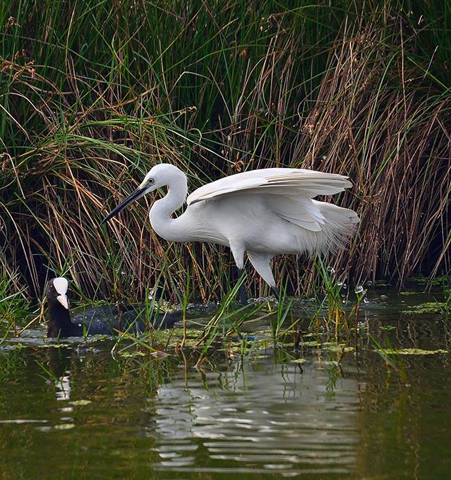 water birds, india, egret, photography, natural, design